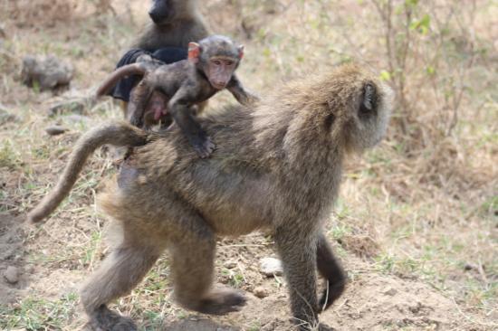 Bébé babouin sur le dos de sa mère