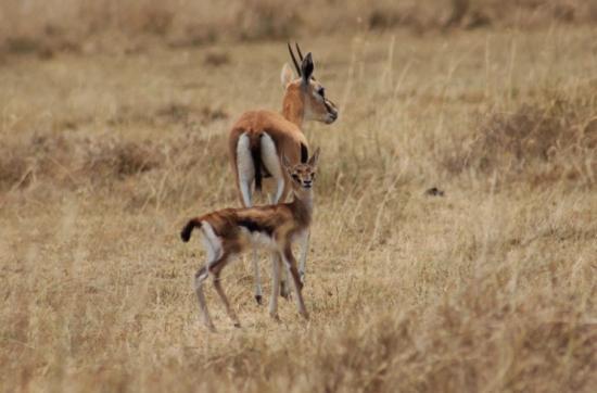 Gazelle et son bébé