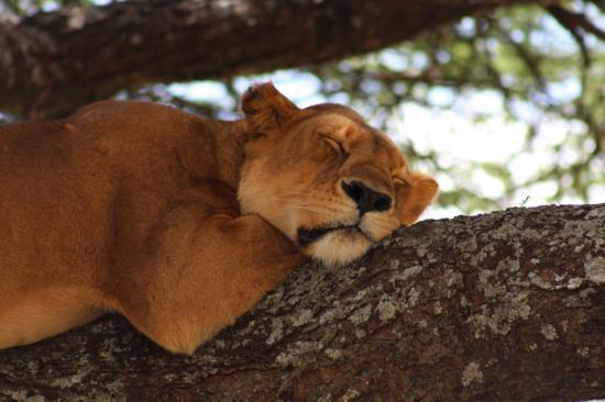 Jeune lion au repos